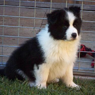 Thomas Puppy